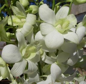 Dendrobium Orchid $