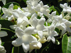 Stephanotis $$$